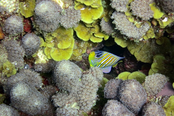 Stripped Regal Angelfish at Medjumbe, Mozambique