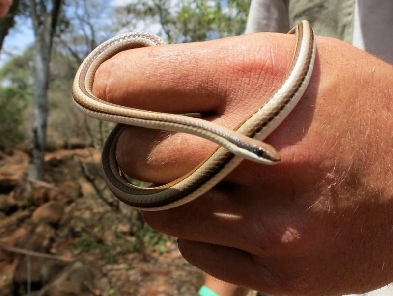04-11 Beautiful Sand Snake-HoneyTrek.com