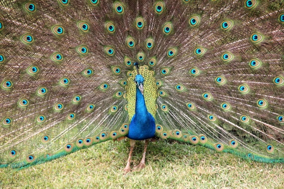 Peacock at Kenya's Aberdare National Park