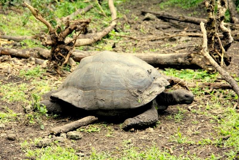 Galapagos Tourtise