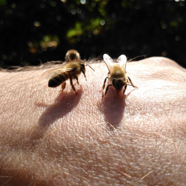 #sayhello to my #Bee #instabee #imker #beekeeper #instabee #DerHonigdachs www.der-honigdachs.de