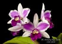 Honolulu Orchid Society Certificate of Distinctive Character 84.7 points Lea Takafuji 09Jun11 Aiea Orchid Club Show