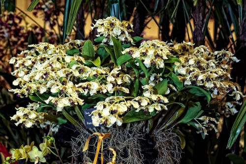 Ken and Aileen Ching's Dendrobium atroviolaceum won the Best Flowering Specimen Trophy.