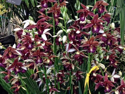Ken and Aileen Ching's Phaius Lady Ramona Harris 'Looking at You' won the Best Other Genera Trophy.