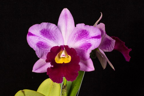 Cattleyas come in all colors, size and shapes.  This is Blc. Hsinying Baga, a cross between Lc. Hsinying Pub and Blc. Memoria Anna Balmores 'Convex'.