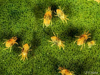Mites love the warm weather.  They are tiny but can cause extensive damage to orchid plants if steps are not taken to control them.