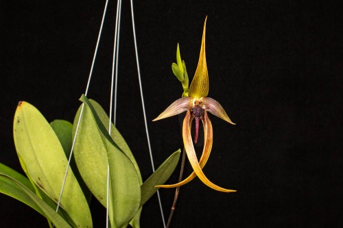 Bulbophyllum Wilbur Chang.