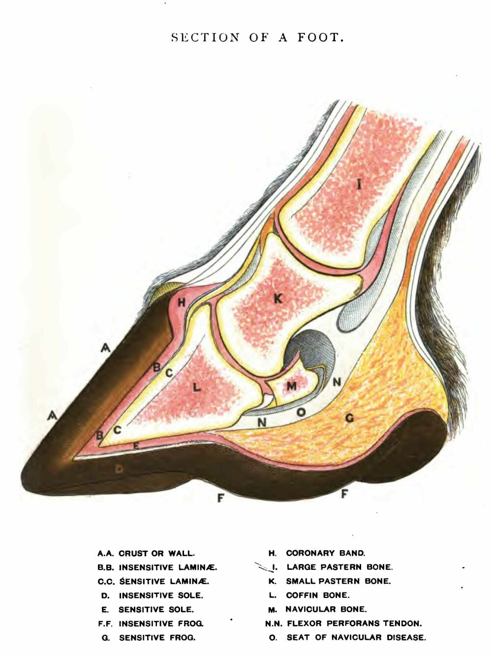 hight resolution of labeled cross section drawing of normal horse hoof and leg below fetlock