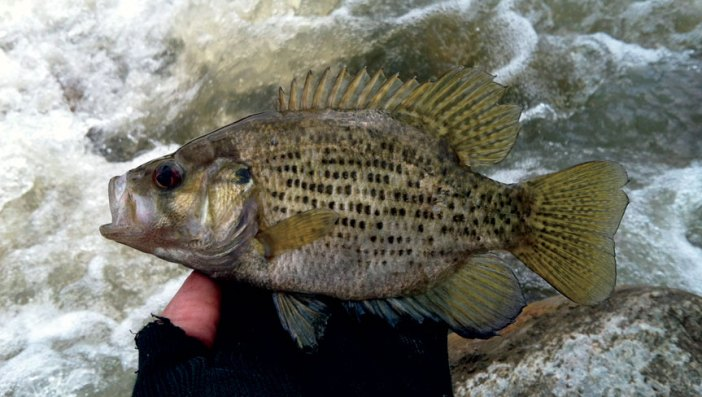 rockbass-from-the-rapids