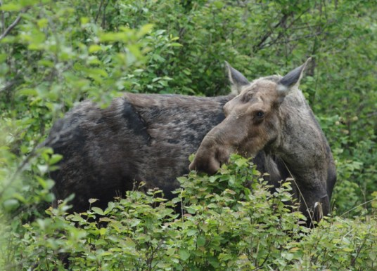 Rights Won't Matter When The Last Moose is Shot