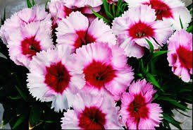 Dianthus 'Super Parfait Series'