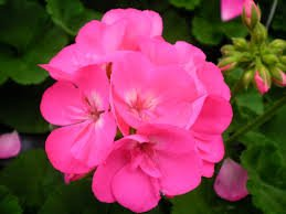 Geranium 'Americana Pink'
