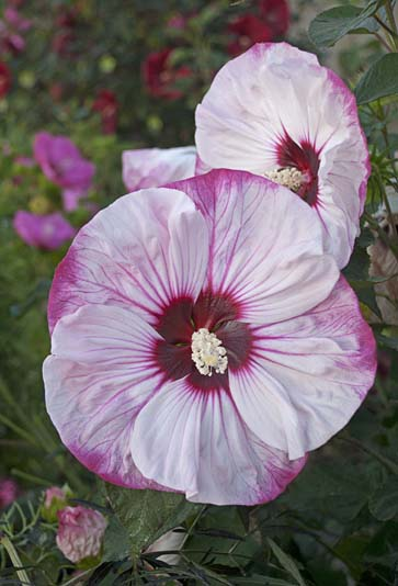Hibiscus 'Summerific® Cherry Cheesecake' (Proven Winners)