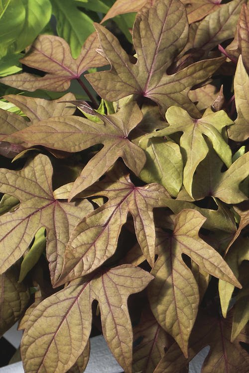Ipomoea (Sweet Potato Vine) 'Assorted Colors'