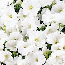 Wave Petunia 'Easy Wave White'
