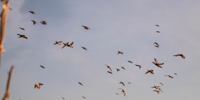 Hooray Ranch Waterfowl Kansas Mallards Black Lab Hunting Experience 0010
