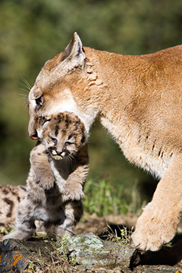 Oh look, theres a cougar trying to devour a young one right now!