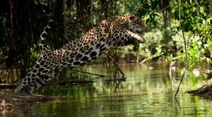 Jaguars and the wildlife of the Pantanal