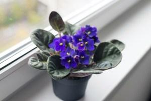 Der Blumenstock erinnert mich an meine Mama