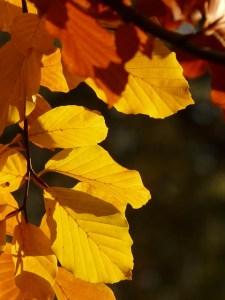 Ockergelbe Blätter leuchten im Herbstlicht - I brauch mei Überdosis Gfühl