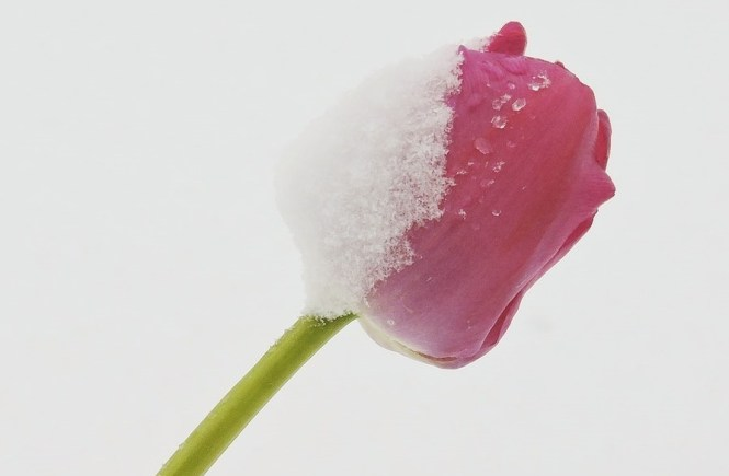 Was ist deine tiefste Sehnsucht - Rote Tulpe bricht durch den Schnee - Hope and Shine
