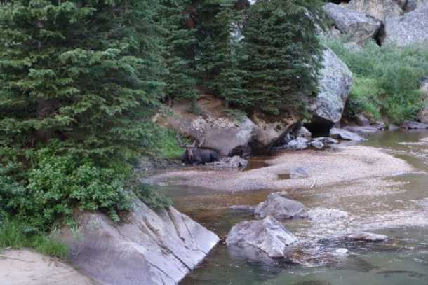 Moose in creek