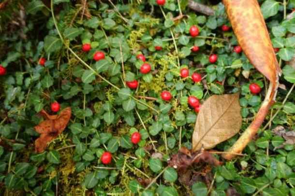 Partridge Berries