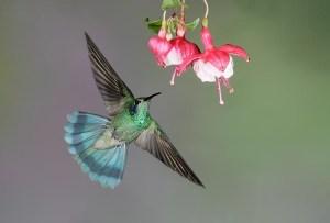hummingbirdFlowersguidebook