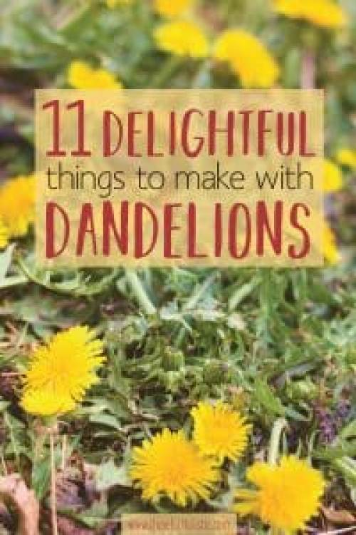 Dandelion plants outside on a sunny day picture with text overlay- delightful things to make with dandelions