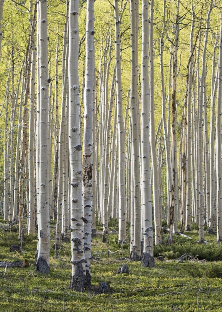 buy birch hedging plants