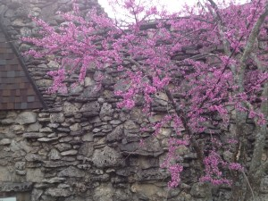 A redbud against the rocks of the building