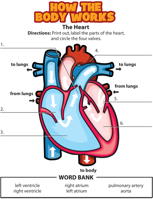 small resolution of Activity: The Heart - Johns Hopkins All Children's Hospital