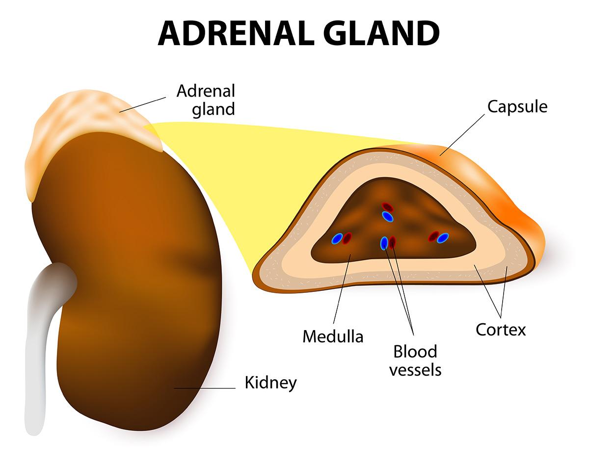 anatomy of adrenal glands [ 1200 x 946 Pixel ]