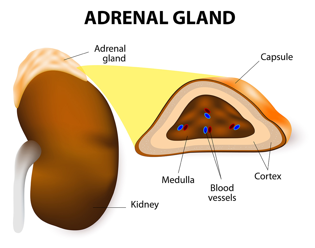 hight resolution of anatomy of adrenal glands