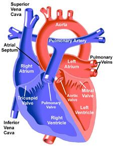 Heart Interior