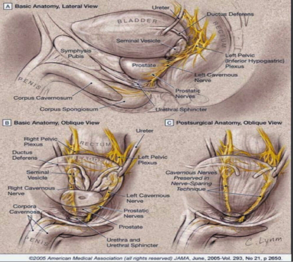 medium resolution of anatomy of the prostate and other pelvic structures