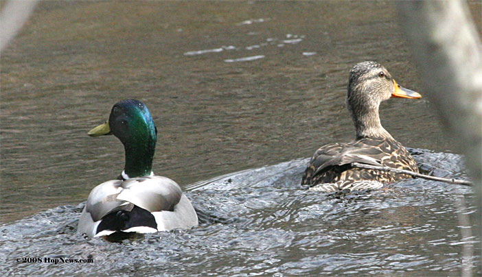 Image result for two ducks on a pond pictures