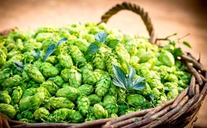 Hop To It - Basket of Hops