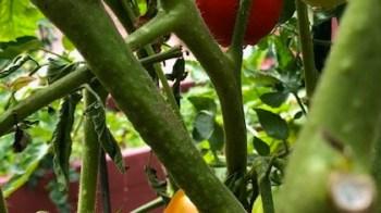 Chef's Garden-Tomato Plants.2