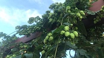 HopYard-Hops Ready to Harvest