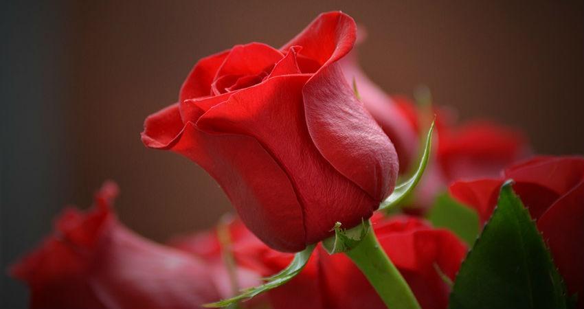 Cuál Es El Significado De Las Rosas Según Su Color Hora Es
