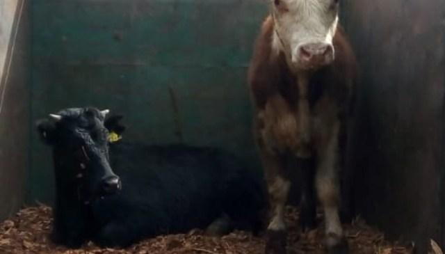 Longaví: Carabineros detiene a sujeto que transportaba ganado sin documentación