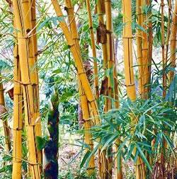 bambu-chines