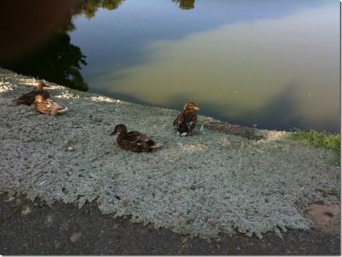 Duck Pond (1)