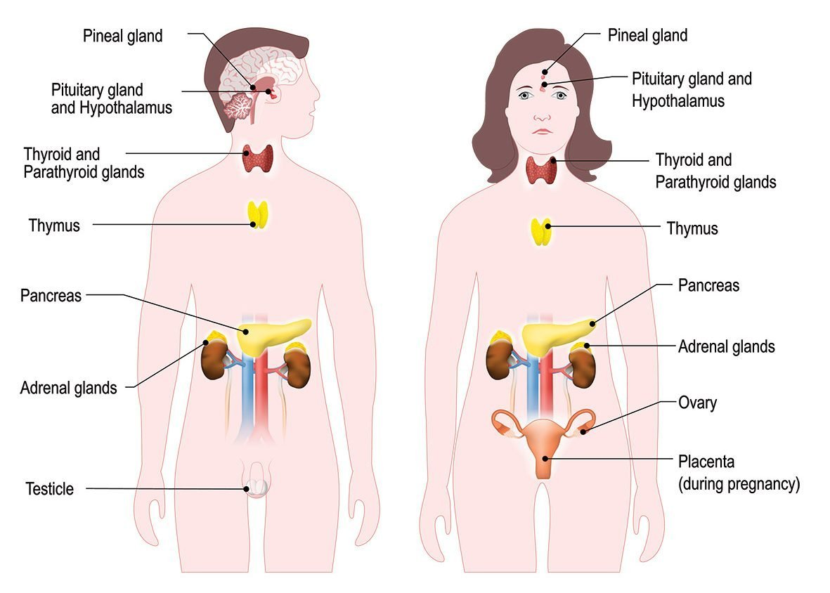 The Endocrine Or Hormonal System