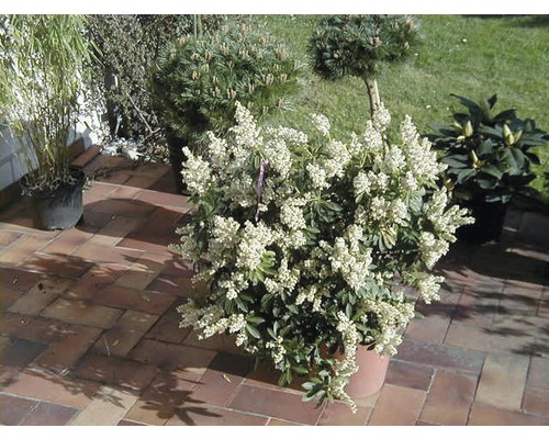 PflanzenSet Vorgarten immergrn 3 3 Stk bei HORNBACH kaufen