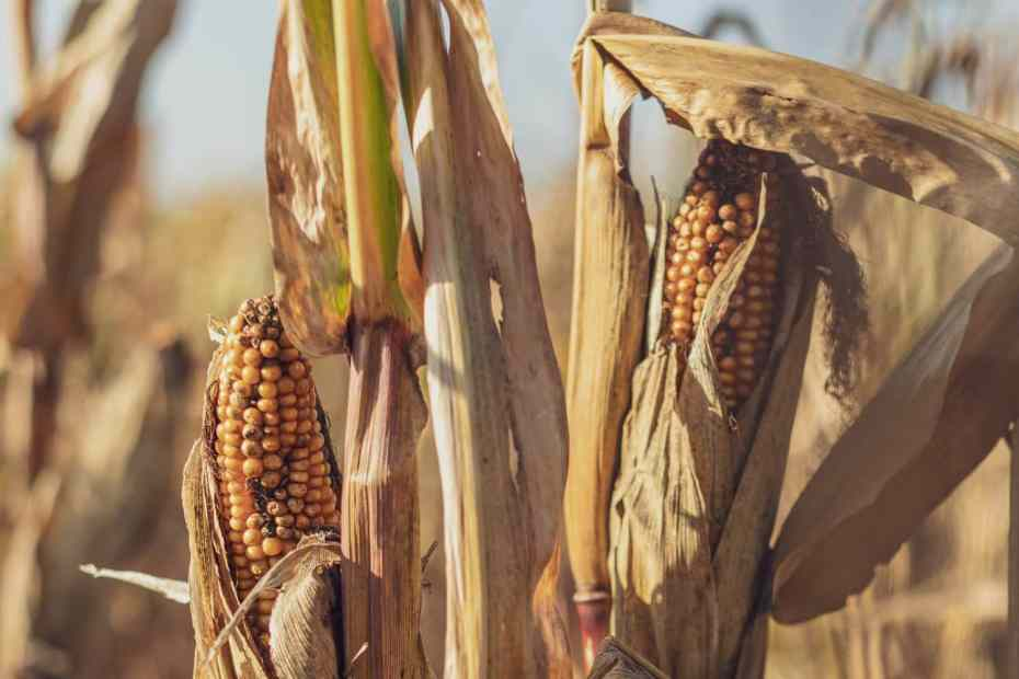 Rotting corn in a field