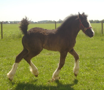 Clydesdale Horse Breed Information History Videos Pictures