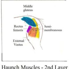 Horse Anatomy Diagram Muscles Copper Phase Al Lesson 2 Click Here For Picture Of Deep Haunch