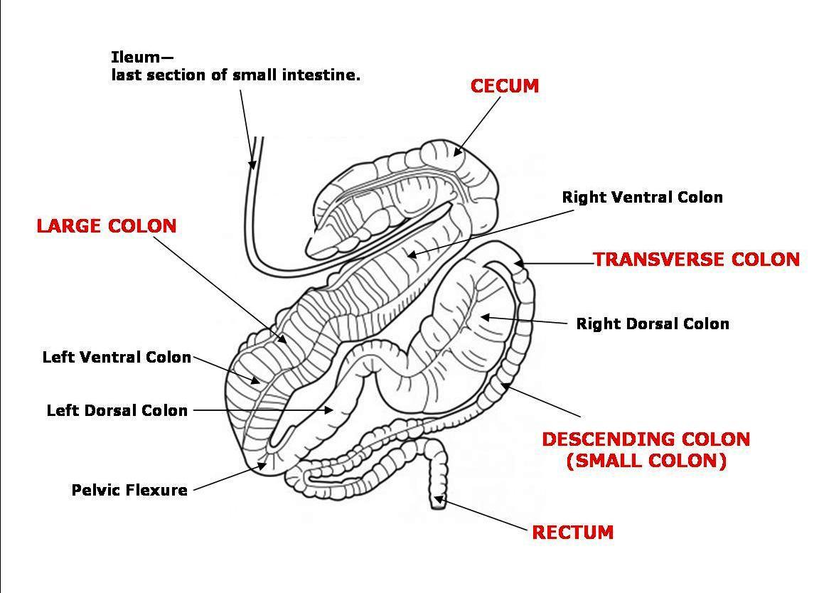 Ruminant Stomach Cardia Diagram